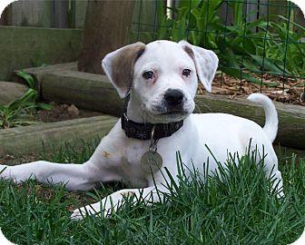 Labrador Retriever/Pointer Mix Puppy for adoption in O'Fallon, Missouri - Saffron