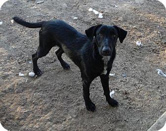 Shepherd (Unknown Type)/Greyhound Mix Dog for adoption in Olympia, Washington - Clyde
