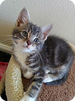 Domestic Shorthair Kitten for adoption in HILLSBORO, Oregon - Ava
