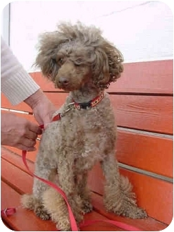 Poodle (Miniature)/Poodle (Toy or Tea Cup) Mix Dog for adoption in Westfield, New York - Teddy