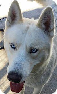 Siberian Husky Dog for adoption in Apple valley, California - Ragoo