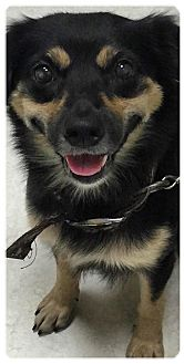 Pomeranian/Pug Mix Dog for adoption in Pennigton, New Jersey - Joyce