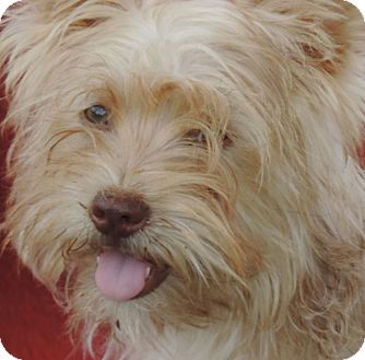 Yorkie, Yorkshire Terrier/Papillon Mix Puppy for adoption in Anderson, South Carolina - Angel/pending