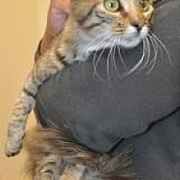 Domestic Mediumhair/Domestic Shorthair Mix Cat for adoption in Pompano Beach, Florida - Boca Cleo