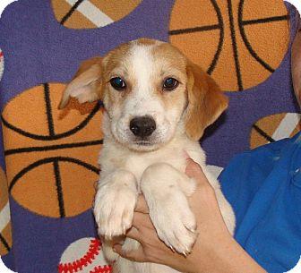 Australian Shepherd/Labrador Retriever Mix Puppy for adoption in Oviedo, Florida - Storm