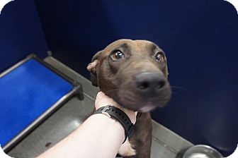 Pit Bull Terrier Mix Dog for adoption in Henderson, North Carolina - Cassy