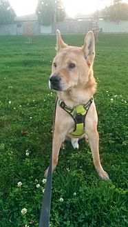 Jindo Mix Dog for adoption in Los Angeles, California - Stevie