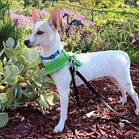 Adopt A Pet :: Tiki - Bell pup - Encino, CA