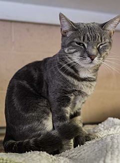 Domestic Shorthair Cat for adoption in Pompton Plains, New Jersey - Tia