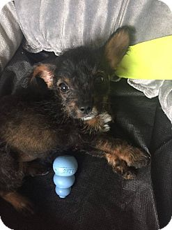Terrier (Unknown Type, Small)/Poodle (Miniature) Mix Puppy for adoption in Fort Atkinson, Wisconsin - Daryl