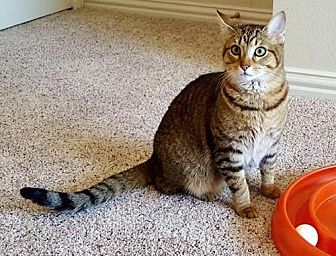 Domestic Shorthair Cat for adoption in Flower Mound, Texas - Whitney