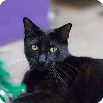 Domestic Shorthair Cat for adoption in Houston, Texas - Merci