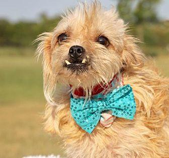 Shih Tzu/Terrier (Unknown Type, Medium) Mix Dog for adoption in Carrollton, Texas - Fred
