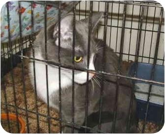 Domestic Shorthair Cat for adoption in Colmar, Pennsylvania - Charlie