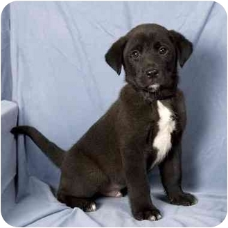 Labrador Retriever Mix Puppy for adoption in Anna, Illinois - HICKORY