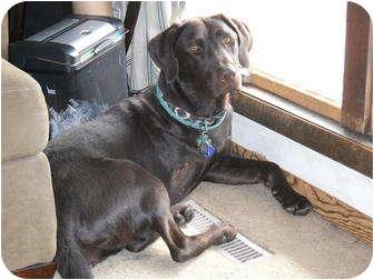 Labrador Retriever Dog for adoption in Salem, Massachusetts - Evie