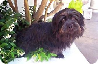 Lhasa Apso Mix Dog for adoption in Los Angeles, California - EMERSON