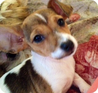 Rat Terrier/Chihuahua Mix Puppy for adoption in ST LOUIS, Missouri - Tiffany