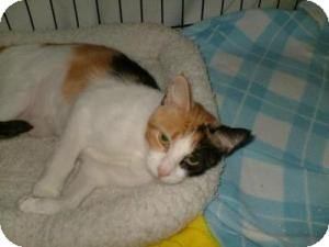 Domestic Shorthair Cat for adoption in Milwaukee, Wisconsin - Pretty Girl