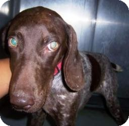 German Shorthaired Pointer Mix Dog for adoption in Olathe, Kansas - Cookie