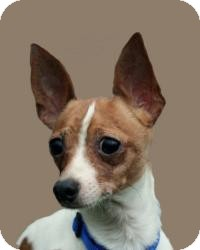 Fox Terrier (Toy) Dog for adoption in Mt Gretna, Pennsylvania - Rags
