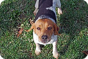 Beagle Dog for adoption in Carey, Ohio - FINNEGAN