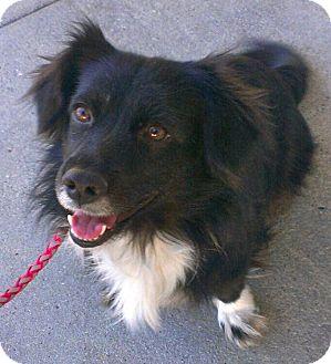 Border Collie Dog for adoption in Thousand Oaks, California - Ella