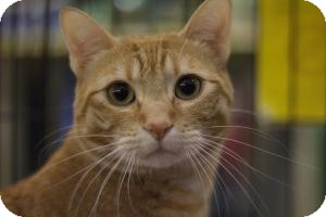 Domestic Shorthair Cat for adoption in Sacramento, California - Dylan