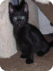 Domestic Shorthair Cat for adoption in East Brunswick, New Jersey - Elwood
