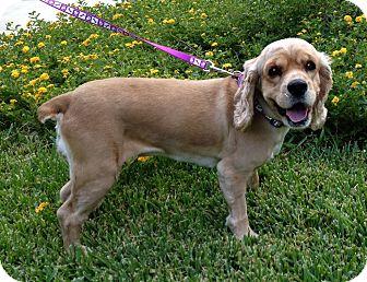 Cocker Spaniel Mix Dog for adoption in San Antonio, Texas - Penny