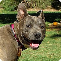 Adopt A Pet :: TULIP - Phoenix, AZ