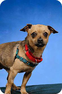Chihuahua Mix Dog for adoption in Salem, Ohio - Little bit