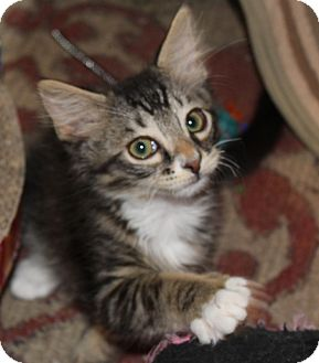 Maine Coon Kitten for adoption in Fort Worth, Texas - Teddy