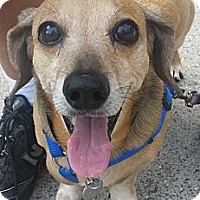 Dachshund Dog for adoption in Decatur, Georgia - Charles