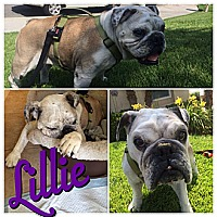 English Bulldog Dog for adoption in Santa Ana, California - Lillie