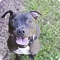 Adopt A Pet :: Izzy - Des Peres, MO