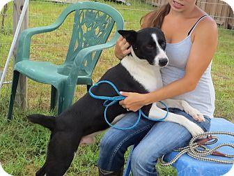 Border Collie Mix Dog for adoption in Manhasset, New York - Casey