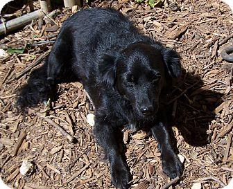 Spaniel (Unknown Type)/Pomeranian Mix Dog for adoption in Greensboro, Georgia - Princess