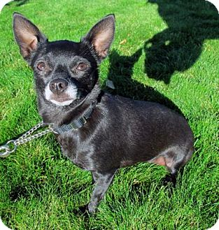 Chihuahua Dog for adoption in Redmond, Oregon - Jill