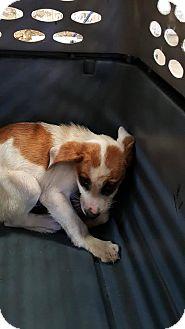Hound (Unknown Type)/Labrador Retriever Mix Puppy for adoption in Darlington, South Carolina - Henry David