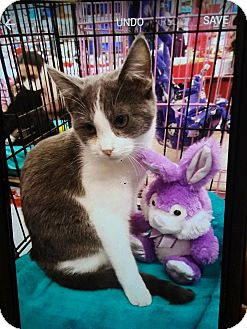 Domestic Shorthair Kitten for adoption in Northfield, Ohio - Hammy