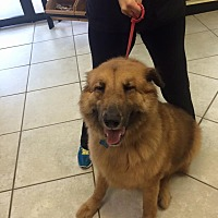 Adopt A Pet :: Kiba - Houston, TX
