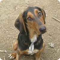 Adopt A Pet :: Dopey - Harrisburgh, PA
