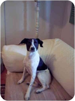Rat Terrier/German Shorthaired Pointer Mix Dog for adoption in Louisville, Kentucky - Bill: Adopted!