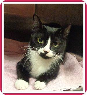 Domestic Shorthair Cat for adoption in Marietta, Georgia - BLACKSTAR