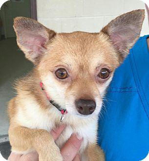 Chihuahua/Pomeranian Mix Dog for adoption in Mount Pleasant, South Carolina - Coco