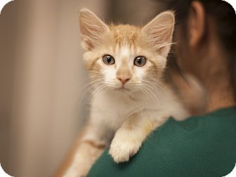 Domestic Shorthair Kitten for adoption in Dallas, Texas - Pumpkin