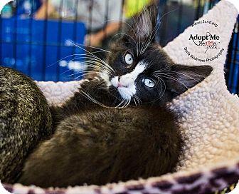 Domestic Mediumhair Kitten for adoption in Charlotte, North Carolina - A..  Junior