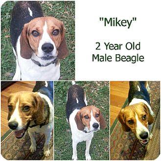 "Beagle Mix Dog for adoption in Findlay, Ohio - ""MIKEY"""