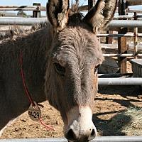 Donkey/Mule/Burro/Hinny for adoption in Phelan, California - Miney